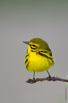THREATENED: The Prairie Warbler, (Setophaga discolor), is a small songbird and is a member of the New World warbler family. Their breeding habitats are brushy areas and forest edges in eastern North America. Cute Birds, Pretty Birds, Beautiful Birds, Animals Beautiful, Exotic Birds, Colorful Birds, Kinds Of Birds, Bird Pictures, Animal Wallpaper