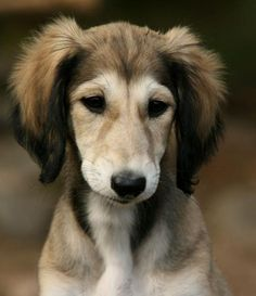 saluki puppies - Google Search