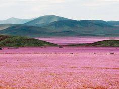 Northern Chile Desert in Bloom | Gardenista