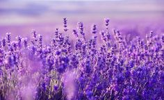 "Relaxing harp music for stress relief (called ""Purple Flowers"") that can be used as sleep music, background music, meditation music spa music and study music. Lavender Fields, Lavender Flowers, Purple Flowers, Lilac Color, Rose Flowers, Lavender Oil, Relaxing Harp Music, Provence, Lavender Benefits"