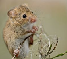 https://flic.kr/p/8wn18b   Field Mouse   Close up of a Field mouse using Nikon D300 and 105mm macro lens, handheld. Pete Foley Photos.