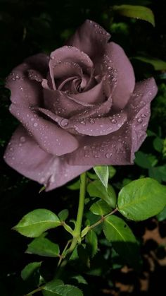 Old rose colored rose. Beautiful Rose Flowers, Rare Flowers, Love Rose, Flowers Nature, Exotic Flowers, Amazing Flowers, Rose Violette, Gothic Garden, Purple Roses