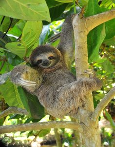21 endangered animals you should see before they're gone - Matador Network Extinct Animals, Rare Animals, Animals And Pets, Strange Animals, Cute Sloth Pictures, Animal Pictures, Cute Baby Sloths, Cute Baby Animals, World's Cutest Baby