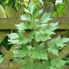 Lavas is een makkelijke plant in de tuin. Je moet er wel ruimte voor hebben want hij wordt twee meter hoog. Lavas is een lekker vers kruid in soepen.
