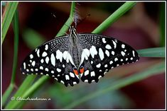 3387 - lime butterfly | by chandrasekaran a 44 lakhs views Thanks to all Bird Pictures, Nature Pictures, Bugs And Insects, Butterfly Wings, Beautiful Butterflies, Bird Houses, Animals And Pets, Lime, Snails