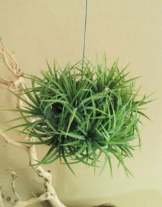 TREASURY ITEM - Hanging Air plant Clump on wire