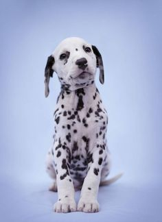What's not to love? Fig, 7 week old Dalmatian Puppy #puppies #doglovers