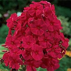 Tenor Phlox. Phlox paniculata. Perennials for the Back Border.  For garden harmony, blend dashing red Tenor into your display or cutting beds. 2-3' Tall. Sun/Part Shade. Zones 3-9
