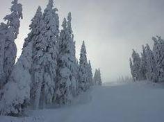 winter pine trees - Google Search