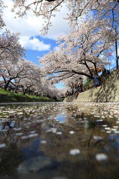 Iwakura City Aichi Prefecture :  Gojo River 愛知県岩倉市 岩倉桜まつり 五条川