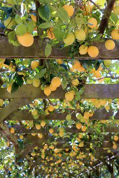 Lemon Arbor Lotusland