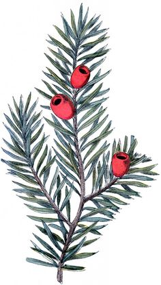 Holiday Branch Image - Yew - The Graphics Fairy  - but it is upside down.