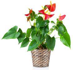 Flamingonkukka on kestävä kukka, jos kasvia hoidetaan oikein.   Kastele säännöllisesti kalkittomalla vedellä pitäen kasvualusta tasaisen kosteana. Viihtyy ilmavassa ja happamahkossa kasvualustassa. Anna ravinteita kastelujen yhteydessä keväästä syksyyn. Nauttii kirkkaasta hajavalosta. Älä sijoita suoraan paahteeseen. Flamingonkukka kukkii mihin aikaan vuodesta tahansa.  Lue lisää OmaKoti.fi:n sivuilta. Fungi, Flamingo, Flora, Plants, Interior Design, Decor, Flamingo Bird, Nest Design, Decoration