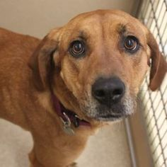 Meet Anna, a sweet Hound mix available for adoption at A.D.O.P.T. Pet Shelter in Naperville, IL