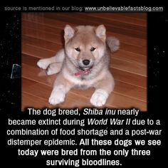 The dog breed, Shiba inu nearly became extinct during World War II due to a combination of food shortage and a post-war distemper epidemic. All these dogs we see today were bred from the only three surviving bloodlines.