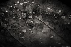 """Paragon of time  - The soul knows the way""  #fevelin #BBC #BBCOne #BluePlanet2 #bbcearth #leaf #raindrops #macrophotography #artoftheday  #photographyoftheday #fiac #contemporaryart #blackandwhitephoto #zen #zeiss #heytate #MMMexplore #floatshow #spectraculture #konbini #hyperallergic"