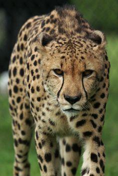 Cheetah walking and looking at us