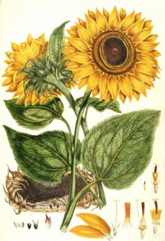 CC wk 14 art Helianthus annus Sunflower illustration for an English translation of a botanical treatise by Carolus Linnaeus 1777 from the Plate Collection of the Botany Library - John Miller Vintage Prints, Vintage Botanical Prints, Botanical Drawings, Sunflower Illustration, Botanical Illustration, Illustration Art, Illustrations, Art Floral, Deco Floral
