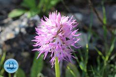 Blumenwanderungen auf Kreta: Nars, Flora, Gladioli, Flowers, Plants