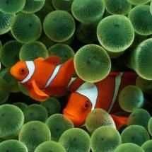 Clown Fish in the anemone by Jeff Hunter