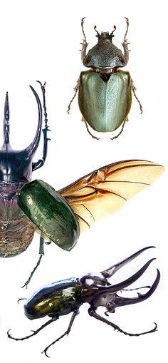 Chalcosoma caucasus, female, male