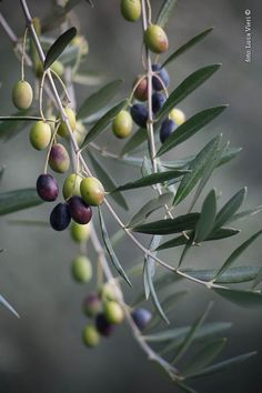 Olives by Luca Vieri of Italy Olive Fruit, Fruit And Veg, Fruits And Vegetables, Olives, Photo Fruit, Olive Harvest, Vida Natural, Olive Gardens, Fruit Art