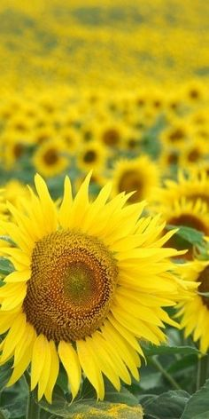Sunflowers. Flowers Garden Love