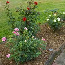 Rose Garden spacing