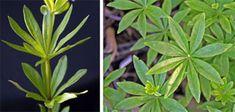 Sweet Woodruff, Galium odorata – Master Gardener Program Sweet Woodruff, Tiny White Flowers, Plant Identification, Herbaceous Perennials, Herbal Remedies, Herbalism, Leaves, Logo, Plants
