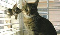 Cute Kitten Through The Blinds