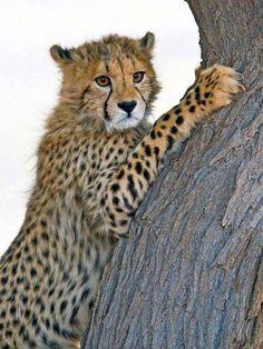Cheetah   African animals, birds, etc.   Pinterest   More Cheetahs ...