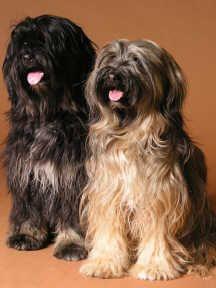 tibetan Terrier photo | Terriers Tibetan Tibet Terrier, Cairn Terrier, Terriers, Pet Dogs, Dogs And Puppies, Dog Cat, Doggies, Unusual Dog Breeds, Afghan Hound