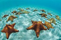 Cushion Sea Star.Oreaster reticulatus.Leinster Bay, St John.US Virgin Islans