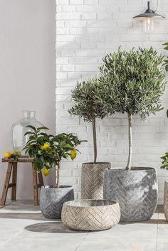 Balcony Plants, Balcony Garden, Outdoor Plants, Outdoor Gardens, Terrace, Garden Living, Home And Garden, Olivier En Pot, Buy Plants Online