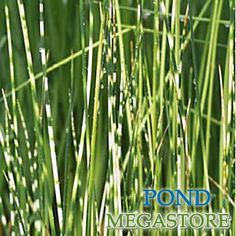 RUSH, ZEBRA (Scirpus tabernae-montani 'Zebrinus')... pond plant. Adds a vertical accent to your water garden. The 2' - 5' spikes are green with white horizontal stripes. It is very easy to grow so give it plenty of room to spread.
