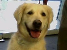 Dana Bermejo #GoldenRetriever  #veterinario www.veterinario.es