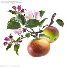 Apple blossom and apples on branch