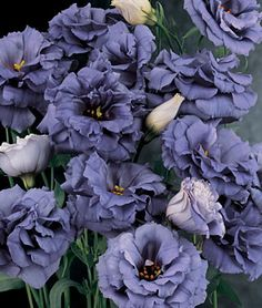 Do these grow in Mo? Lisianthus, Blue Rose lifecycle: Annual Uses: Cut Flowers Sun: Full Sun Height: inches Spread: inches Sowing Method: Indoor Sow Bloom Duration: 10 weeks Rose Like Flowers, Cut Flowers, Colorful Flowers, Beautiful Flowers, Spring Flowers, Tropical Flowers, Purple Flowers, White Flowers, Desert Flowers