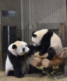 Pet Dogs, Dog Cat, Animals And Pets, Cute Animals, Cute Panda, Baby Pandas, Giant Pandas, Panda Bears, Husky