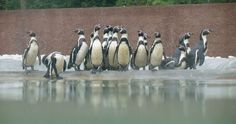 Atrações - Alimentação dos Pinguins / Zoo Santo Inácio, V.N. Gaia | Porto
