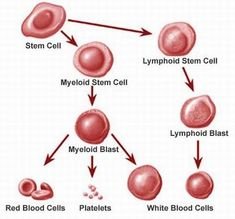 Leukemia is a group of strictly bone marrow diseases which means the body is producing an uncontrolled increase in white blood cells. There are various types of leukemia including hairy cell leukemia, chronic lymphocytic leukemia, chronic myelogenous leukemia, acute lymphocytic leukemia, and acute myelogenous leukemia. #leukemia #blooddisorders #medicalook