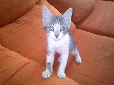 Mascota en adopción en Adoptaloo.com - MIMOSIN_gatito de 2 meses