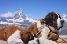 Великі неосяжні породи собак фото