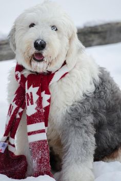 Canadian sheepdog keeping warm in the snow with his scarf