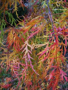 Japanese Maples in Tennessee | Fine Gardening