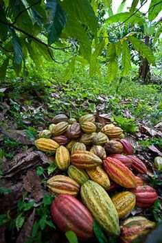 organic cacao farm, southern Belize.  Photo: © 2011 Patrick Jewell, Barefoot Contessa Photo Adventures. Buy organic and fair trade chocolate whenever you can.