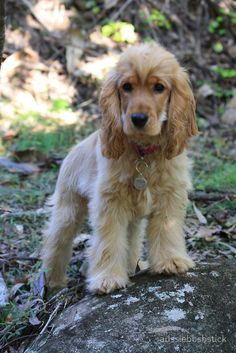 Jessie's Winter FUZZ Photo by Robyn J Blackford aka aussiebushstick via Redbubble. Perro Cocker Spaniel, Golden Cocker Spaniel, English Cocker Spaniel, Puppies And Kitties, Baby Puppies, Cute Puppies, Doggies, Cute Dogs Breeds, Dog Breeds