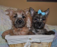 the  cutest little shits ever! love cairn terriers
