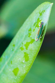 Leafhopper by Sebastian Schmidt on 500px