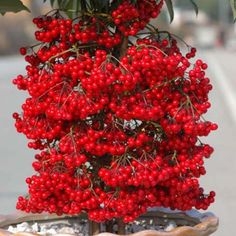 50seeds/bag rich cinnabar root potted indoor plants flower ornamental fruit plants Ardisia crenata seed